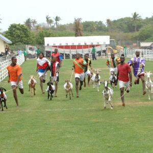 Racing Goats at Buccoo Vliiage, Tobago