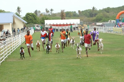 Racing Goats at Buccoo Village, Tobago