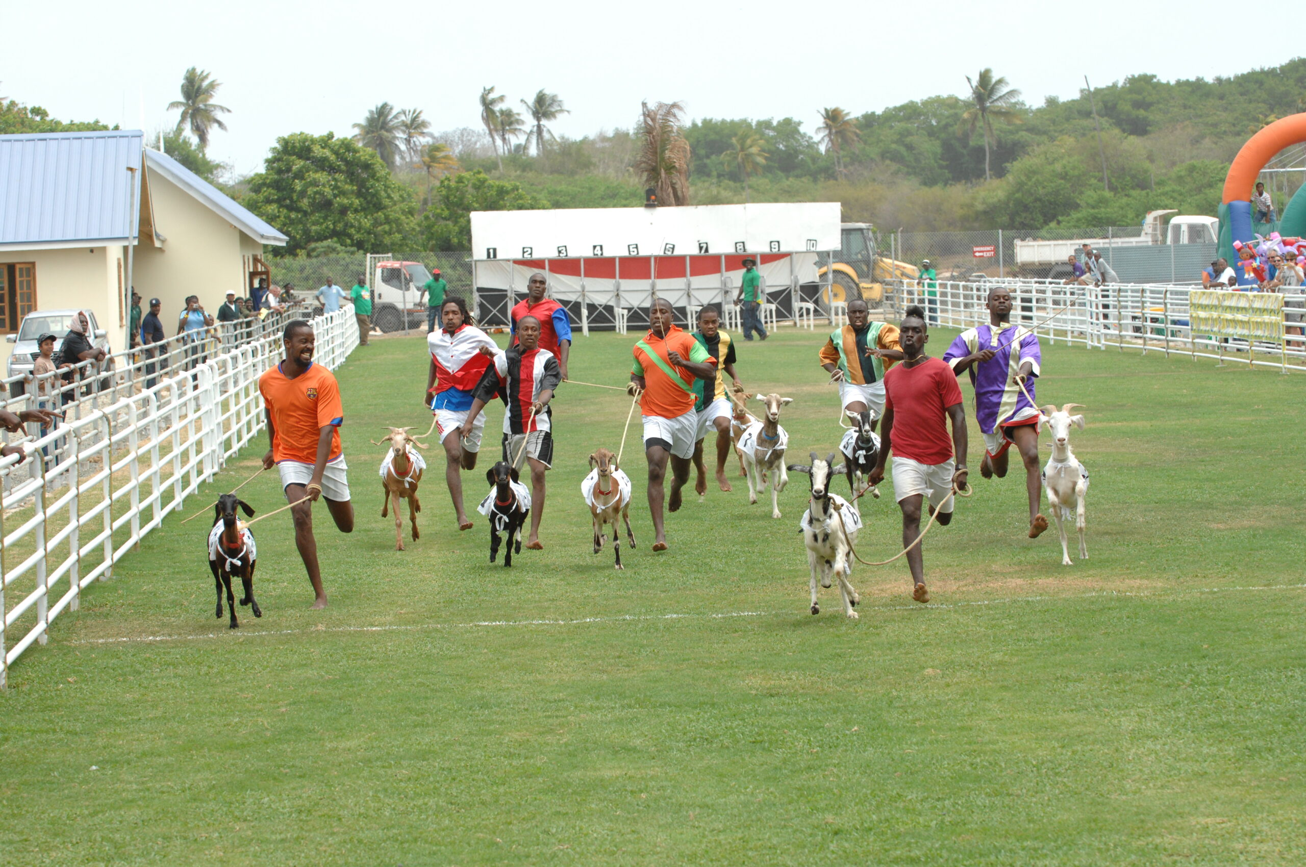 Racing Goats at Buccoo Vliiage, Tobago