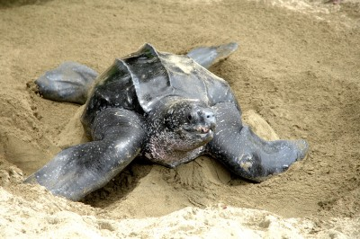 Turtle Laying Turtle Beach Tobago