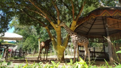 Giraffes at the Emperor Valley Zoo