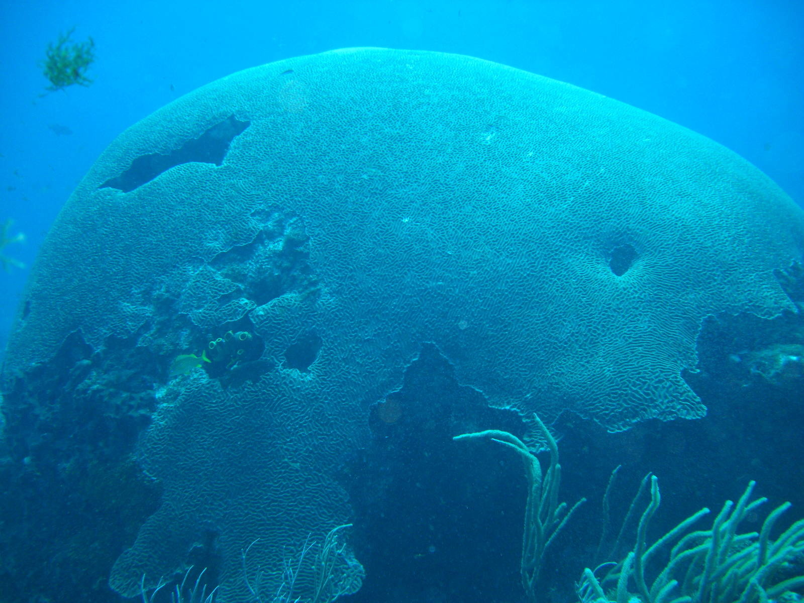Giant Brain Coral at Kelston Drain, Tobago