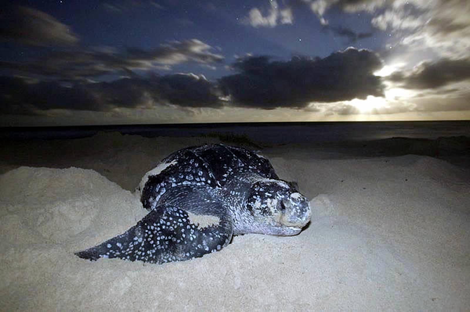 Majestic Leatherback turtle at sunrise on Matelot